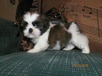 Ckc shih tzu boys $300.00 each has had first shot and
