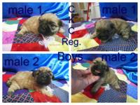 2 ckc shih Tzu males $350.00 each they have first shot