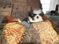 Ckc shih tzu boy $300.00 has had first shot and wormed