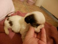 I have a TINY female CKC Shih Tzu young puppy that is