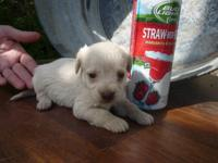 STRAW is a designer puppy whose dam is a 2nd generation