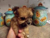 Shorkie -Tzu puppys ready for a caring residence
