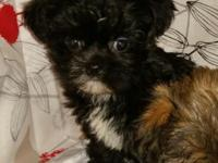 I have two male CKC Shorkie (shih-ftzu/yorkie cross)