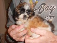I have 1 male teddy bear shorkie. Mom is a shih tzu