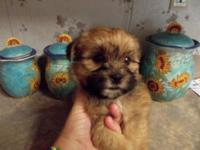 Shorkie-tzu new puppies all set for a loving house.