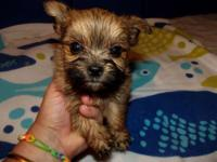 Shorkie -Tzu new puppies ... are valuable loving and
