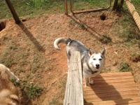 Niko is a beautiful 4 year old Male Siberian Husky.