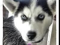 We still have 2 lovely Siberian Husky puppies