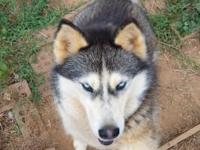 Mischka is a 6 year old female Siberian Husky. She is
