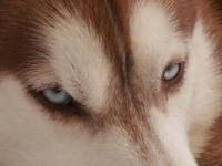 We have a beautiful litter of Siberian Husky puppies on