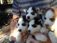 CKC SIBERIAN HUSKY PUPPIES - $900 Pristine registered
