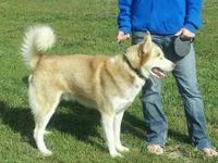 Walker is a 6 year old red and white Husky. He is a