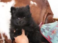 This little prince is a dazzling black male.His
