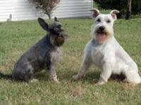 Tito is a gorgeous solid white Baby Schnauzer. He is