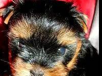 Gorgeous Yorkies the momma weighs 7 pds but the daddy