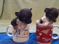 I have 2 very small teacup size CKC chihuahua male