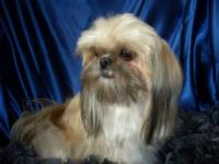 My name is Jessica-our family has Sugar Cookie Shih