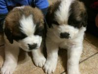 Two Female St Bernard puppies ready for good homes.