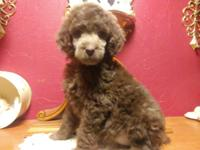 Standard poodle puppies weaned and ready for they new