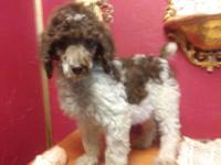 Ckc Silver standard poodle puppies. Tails docked dew