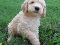 Standard Poodle Puppies Born 7/30/12. Black Male and