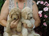 CKC registered standard poodle puppies. Their mother is