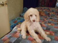 Ckc small Standard Poodle Puppies born 4-9-13 boys 1