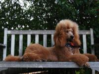 CKC registered Standard Poodle puppies expected in mid