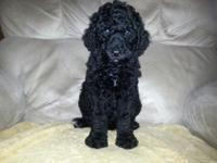 Very sweet black standard poodle pups available. only