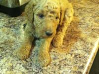 I have standard poodle puppies born on Aug 1,2015 that