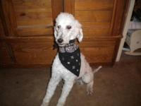 ckc 1 year old standard poodle male I have 2 both