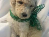 CKC REGISTERED STANDARD POODLES, have had tails docked,