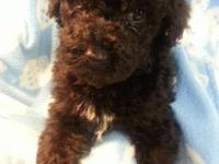 CKC REGISTERED STANDARD POODLES, TAILS DOCKED , DEW