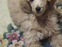 CKC 5 male standard poodles for sale born 10-7-14 16
