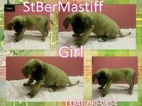 10 CKC StBerMastiff puppies, DOB 5/28/15 and 6/1/15,