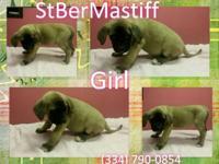 10 CKC StBerMastiff puppies, DOB 5/28/15 and 6/1/15,