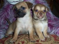 We have 2 super cute little boy chihuahua puppies