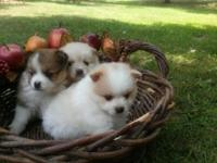 Three ADORABLE Pommy pups! Two boys and a girl.