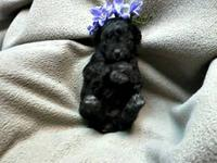 CKC, tiny black Tiny Toy Poodles ,They are Black but it
