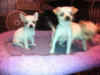 I have a teacup shorthair Chihuahua male 15 weeks old