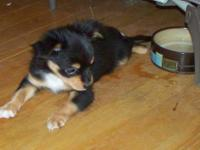CKC registered teacup Chihuahua puppy. $400.00. Date of
