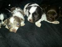 I have 4 adorable male teacup chihuahua puppies for