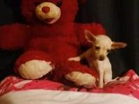CKC Registered Tiny Teacup Chihuahua Puppies 1 Male 1