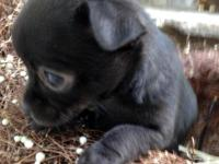 CKC chihuahua puppy male. Born 4/10. He is super tiny.