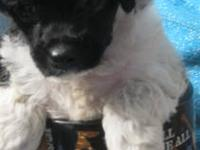 Black and white teacup poodle puppies. 2 boys ,