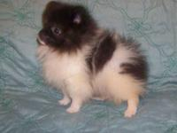 """TEDDY BEAR"" IS A TINY TEACUP MALE PUPPY.HE IS A VERY"