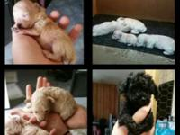 I have five CKC poodles for sale. I have a black male 8