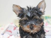 Cute and very playful yorkie puppies 11 weeks old. We