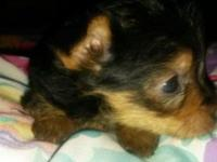 Female 8 week old ckc teacup yorkie puppy. Is up to