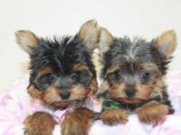 Extremely loving 9 week aged yorkie girls. Love lots of